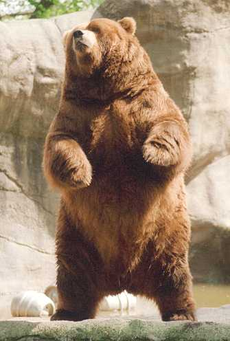Brown Bear rearing