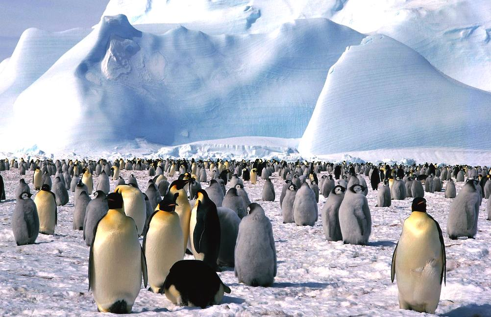 Emperer penguins rely on humans for a place to live, global warming issue
