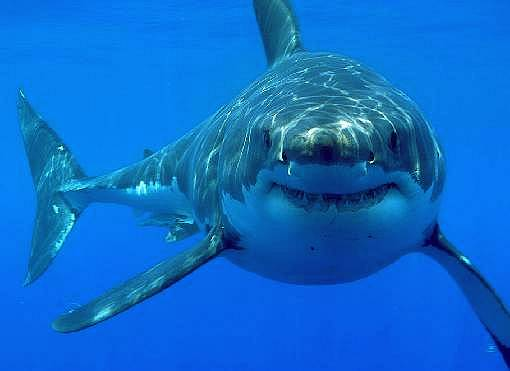 A Great White shark coming in for a closer look