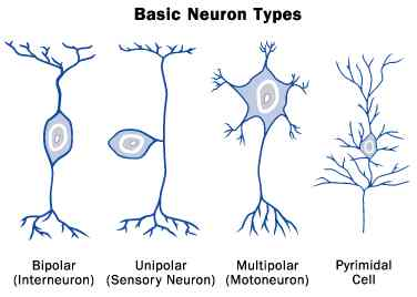 Basic neuron types in the human brain