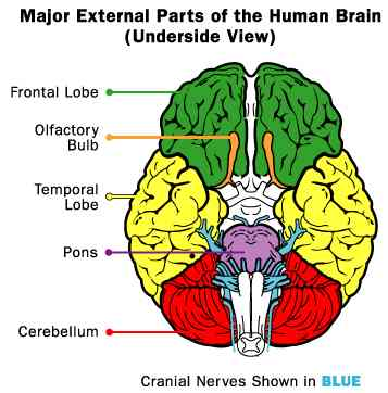External parts of the Human Brain
