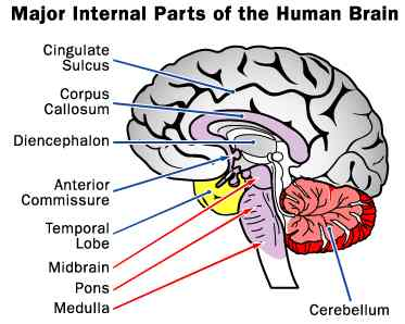 Major internal parts of the Human Brain