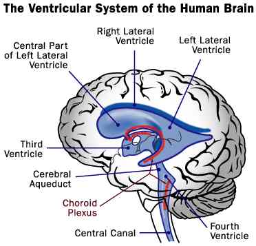 Ventricular system of the Human Brain